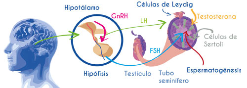 Hormonas fertilidad masculina